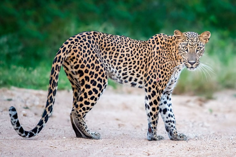 female-leopard-at-yala-national-park-sri-lanka