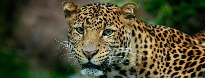 Lankan Leopard in thespotlight