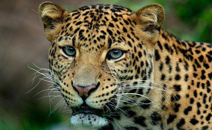 Lankan Leopard in the spotlight