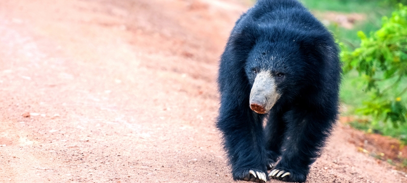 The Photogenic Sri Lankan Sloth Bear