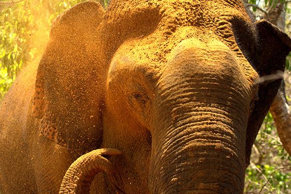 elephant-bath-sri-lankan-elephant