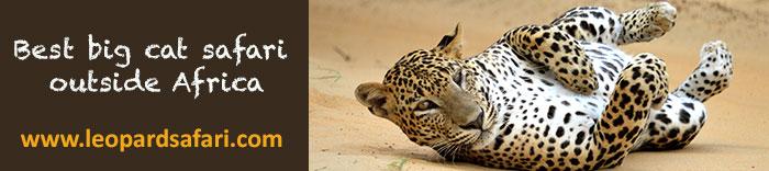 leopard-safari-Sri-Lanka-link
