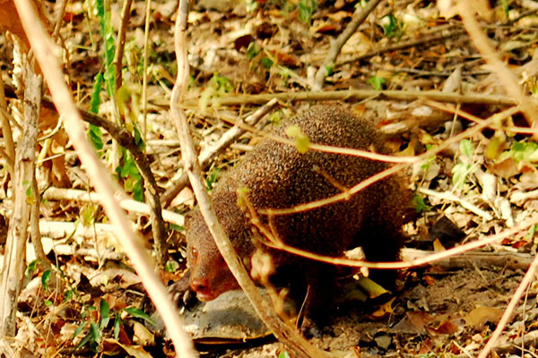 mongoos-story-mahoora-tented-camps-story-by-our-naturalist-puwathara-1