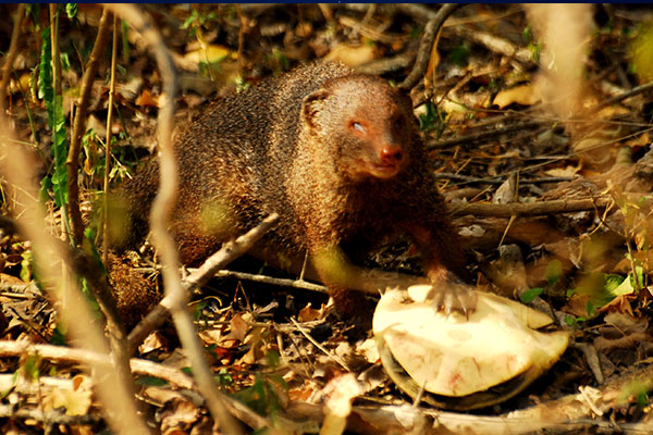 mongoos-story-mahoora-tented-camps-story-by-our-naturalist-puwathara-2