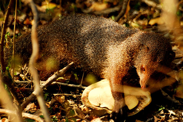 mongoos-story-mahoora-tented-camps-story-by-our-naturalist-puwathara-3