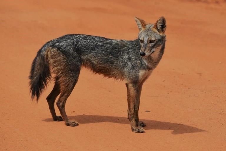 wild-canids-jackal-1