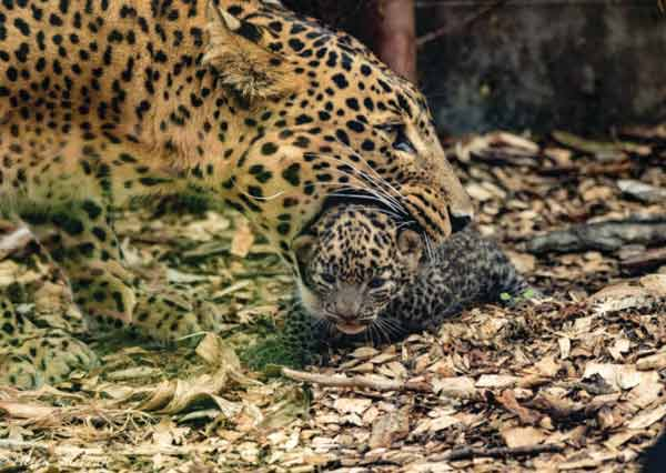 Sri Lankan Leopards born in England