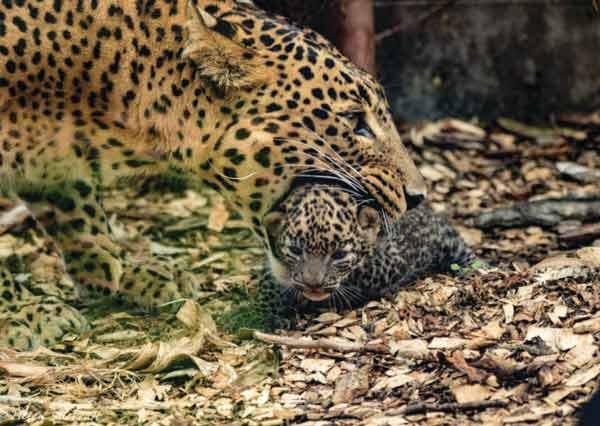 Sri Lankan Leopards born inEngland