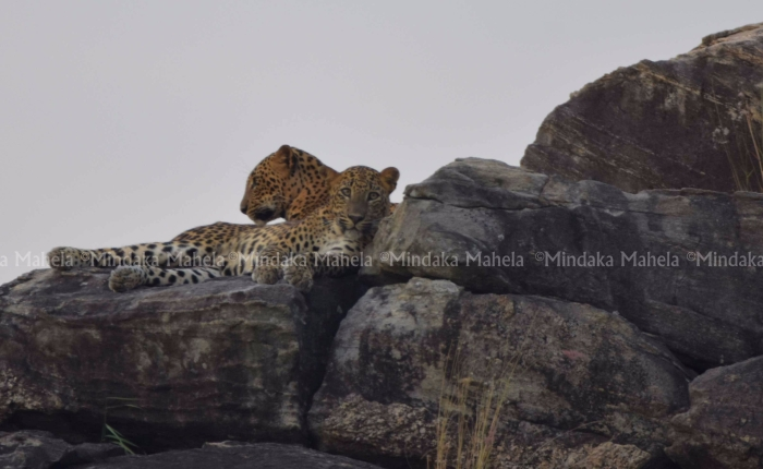 Two leopard cubs spotted on the Buttala Kataragama main road