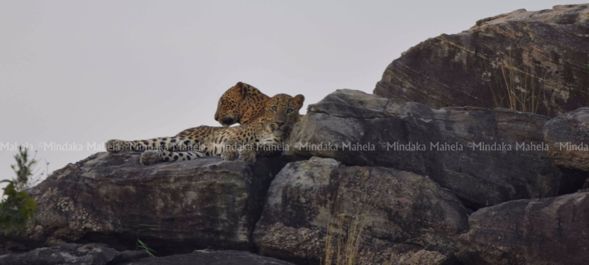 Two leopard cubs spotted on the Buttala Kataragama mainroad