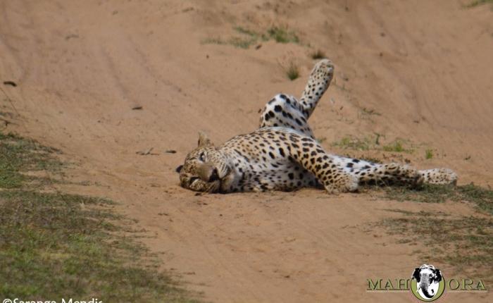 Natta: Superstar Leopard!