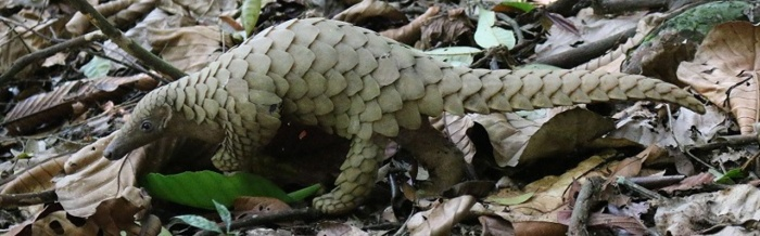 Pangolin – Scaly andUnique