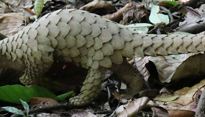Pangolin – Scaly and Unique