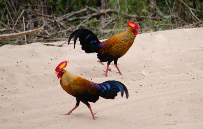 The National Bird of Sri Lanka