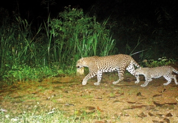 Mother-and-cub-on-tea-estate-at-base-of-ridge