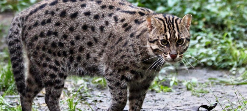 THE SRI LANKAN FISHING CAT