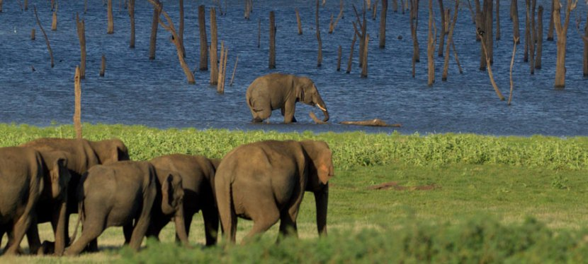 The biggest party in all of Asia is thrown by Sri Lankan Elephants